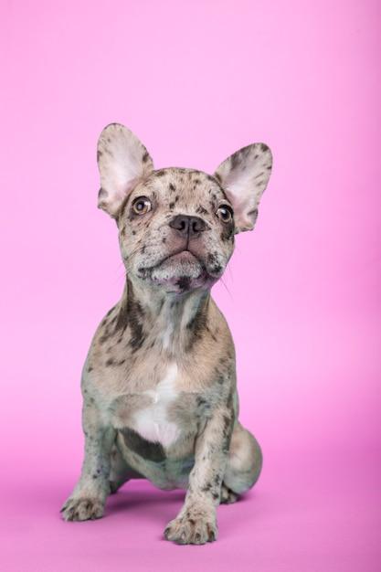 3 meses de edad cachorro bulldog francés sentado sobre fondo fucsia Foto Premium