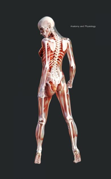 3d ilustración humana de un sistema de músculo esqueleto femenino, hueso y sistema digestivo Foto Premium