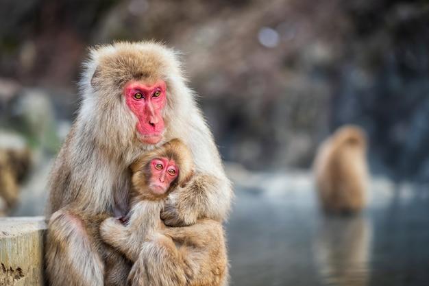 Abrazo De Mono De Nieve En El Parque Jigokudani Descargar Fotos