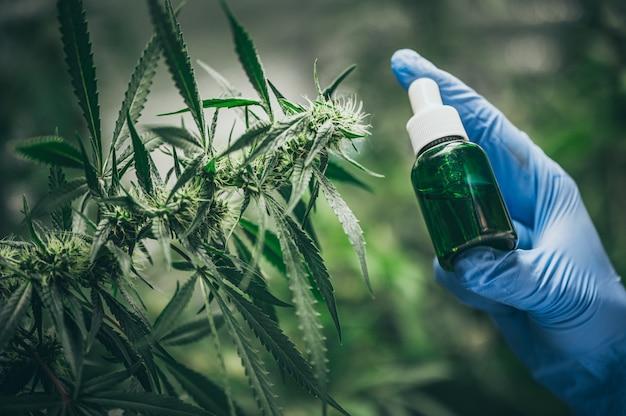 Aceite de cáñamo cbd, mano sosteniendo una botella de aceite de cannabis contra la planta de marihuana. tratamiento a base de hierbas, medicina alternativa Foto Premium