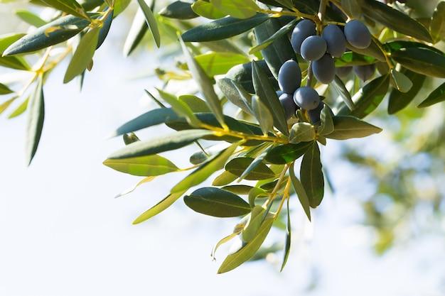 Aceitunas negras italianas en una rama, avetrana, apulia, italia Foto Premium