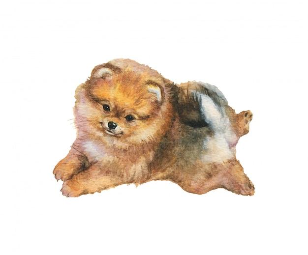 Acuarela pomerania spitz cachorro. retrato de perro realista dibujado a mano sobre fondo blanco. Foto Premium
