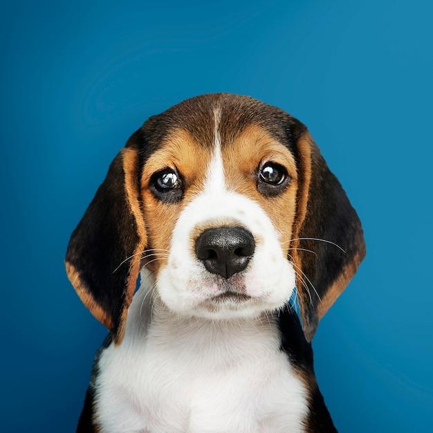 Adorable beagle cachorro solo retrato Foto gratis