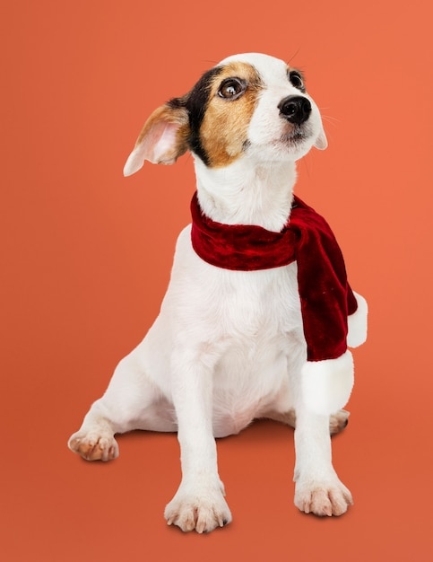 Adorable cachorro de jack russell retriever con una bufanda de navidad Foto gratis