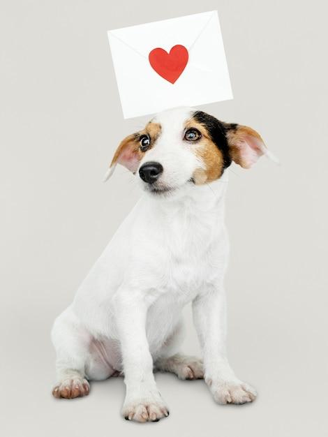Adorable cachorro de jack russell retriever con una carta de amor Foto gratis