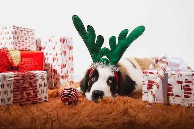 Adorable cachorro de san bernardo en el suelo con astas de reno y rodeado de cajas de regalo envueltas. Foto Premium