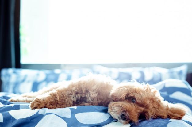 Un adorable perro caniche marrón que se relaja consigo mismo después de despertarse por la mañana Foto Premium