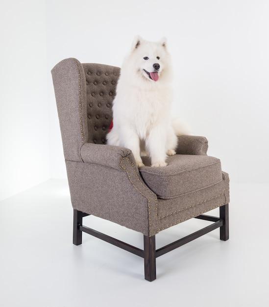 Adorable perro samoyedo en el sofá blanco | Descargar Fotos premium