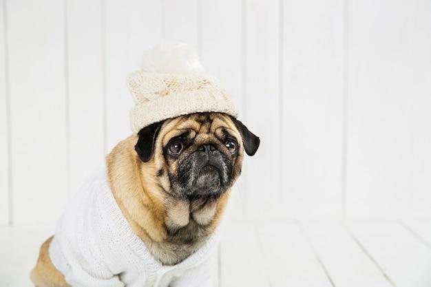 Adorable pug vistiendo suéter blanco y sombrero Foto gratis