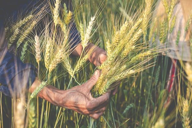 Los agricultores cosechan cebada alegremente. Foto gratis