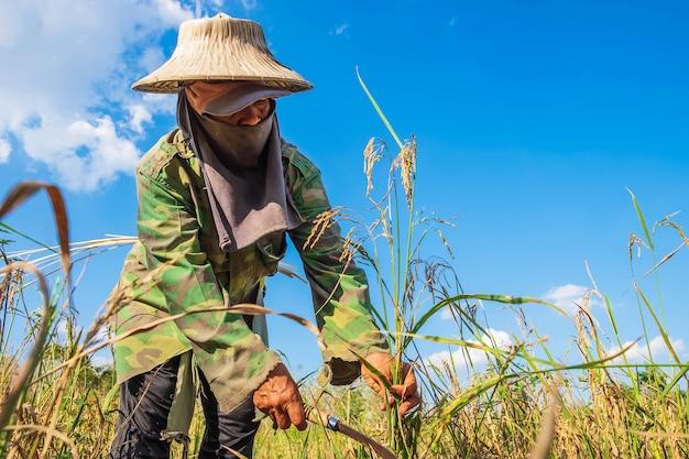 Los agricultores están cosechando arroz. Foto Premium