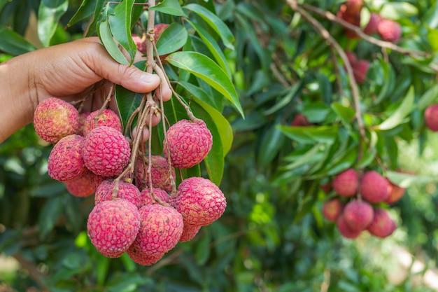 Agricultura de fruta de lichi en tailandia Foto gratis
