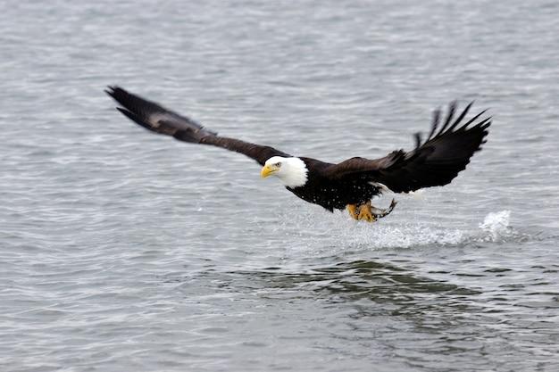 Águila calva con pescado | Descargar Fotos premium