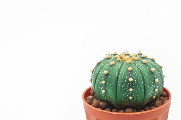 Aislante del cactus de la estrella de astrophytum o del cactus de la estrella en el fondo blanco Foto Premium
