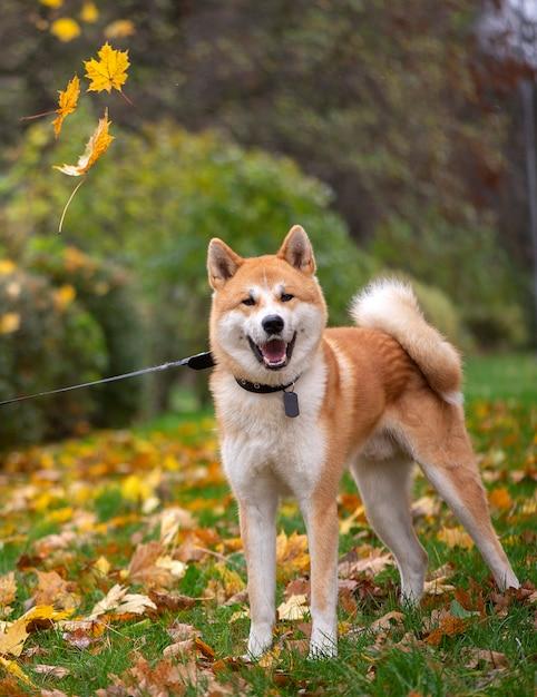 Apariencia de la raza de perro Akita