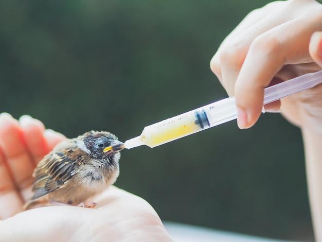 Alimentar la comida al gorrión ave con jeringa Foto Premium