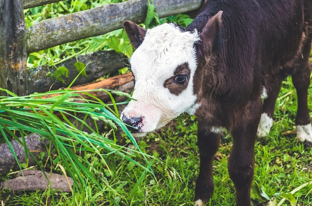 Alimentar la hierba de ternero en el corral, pueblo. Foto Premium