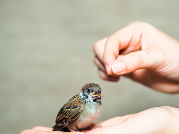 Alimentar a los pájaros del gorrión Foto Premium