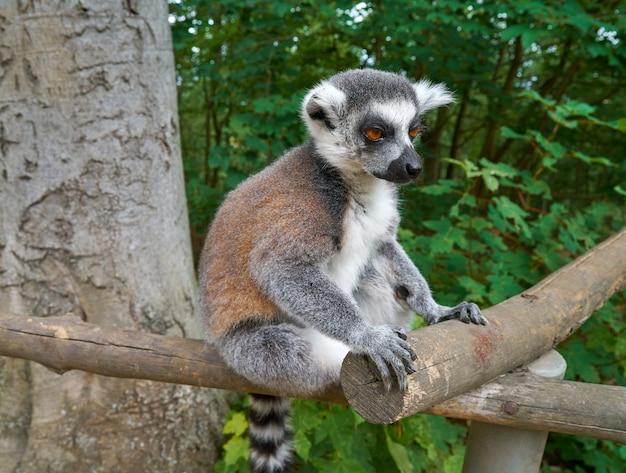 Anillo de lemur de bosque al aire libre Foto Premium