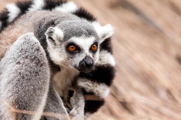 Anillo de lémur de cola Foto Premium