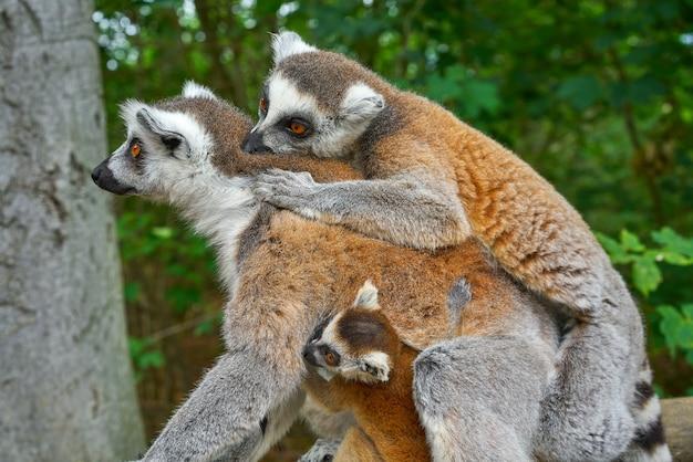 Anillo de lemures de cola al aire libre bosque Foto Premium