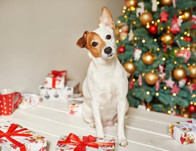 Año nuevo perro jack russell terrier está sentado cerca del árbol de navidad Foto Premium