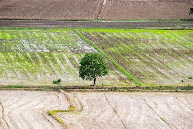 Árbol árido solitario en campo de arroz. Foto Premium