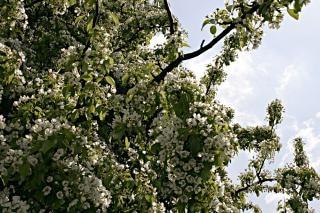árbol con flores blancas Foto Gratis