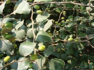 árbol de mango Foto Gratis