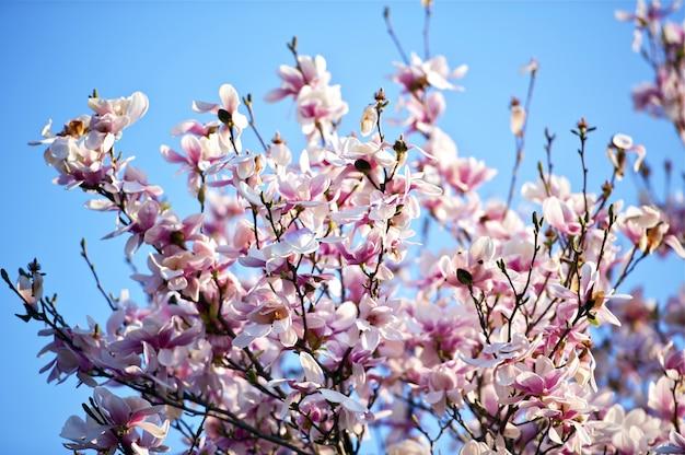Árbol de la flor de la magnolia Foto gratis