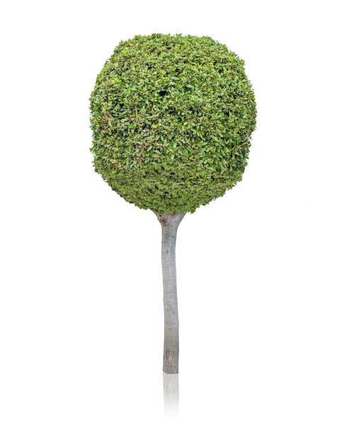 árbol De Hoja Perenne Sobre Fondo Blanco Descargar Fotos Gratis
