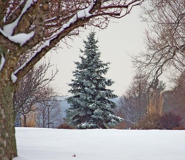 Arbustos de nieve rbol de navidad rbol de hoja perenne - Arbol navidad nieve ...
