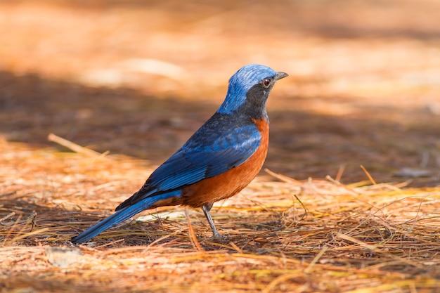 Aves en la naturaleza, tordo de roca de castaño (monticola rufiventris) Foto Premium