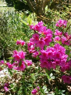 azalea, arbustos | Descargar Fotos gratis