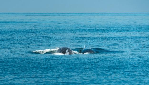 La ballena de bryde, observando en el golfo de tailandia. Foto Premium
