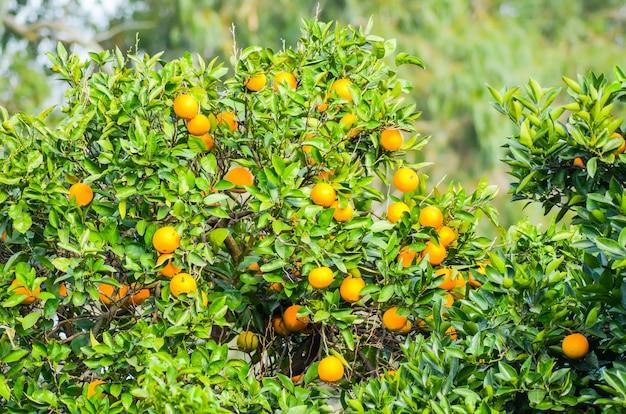 En batumi, los árboles producen hermosas mandarinas. Foto Premium