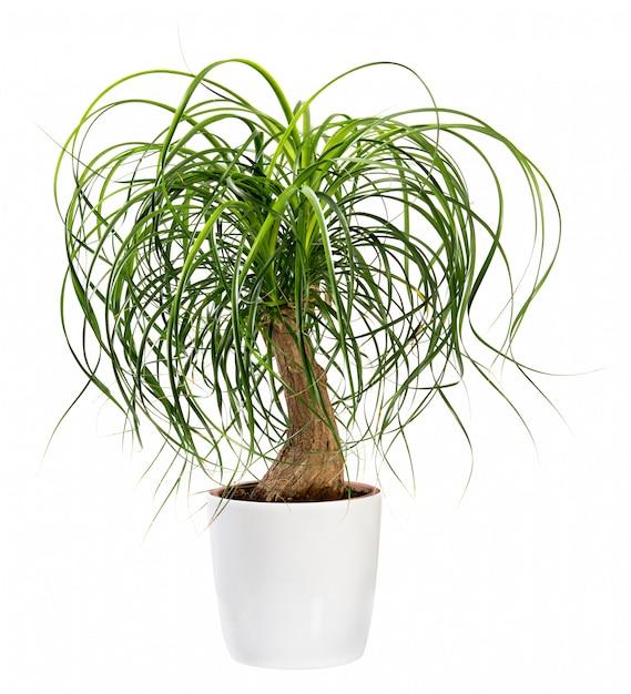 Beaucarnea recurvata o planta nolina recurvata Foto Premium
