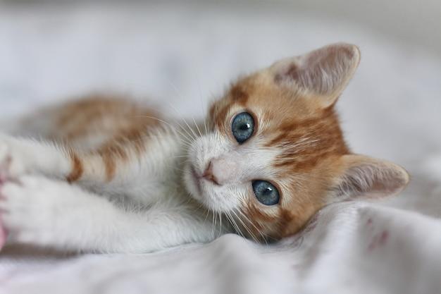 Bebé Gato Naranja Y Blanco Con Ojos Azules Vistos De Frente Foto Premium