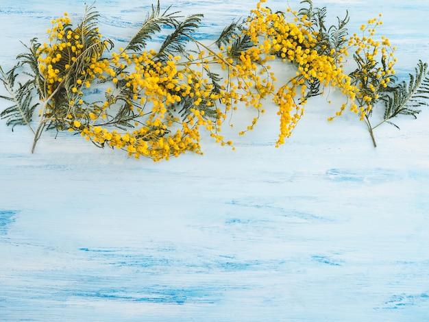 Bellas flores en flor de mimosa sobre una superficie azul-blanca Foto Premium