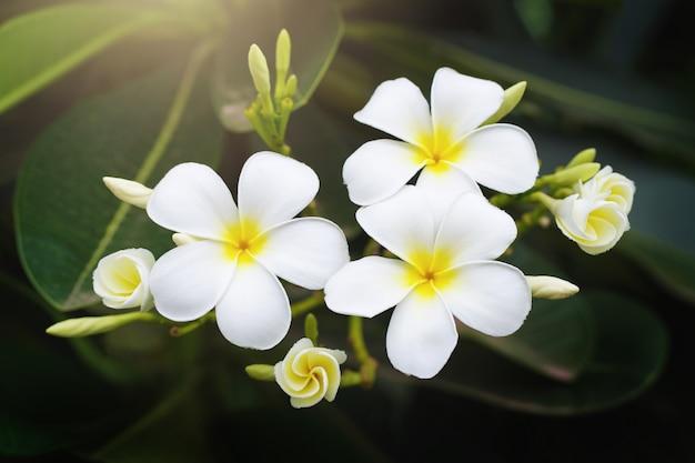 Belleza blanca plumeria flor en árbol en jardín con sol Foto Premium