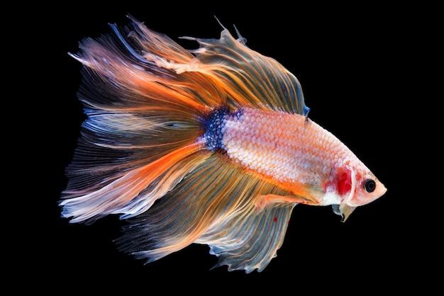 Betta fish de media luna Foto gratis