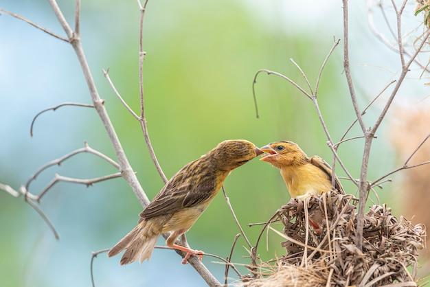 Bird (asian golden weaver) alimentando pajarito Foto Premium