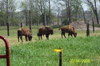 Bisontes, bisontes peligrosas, Foto gratis