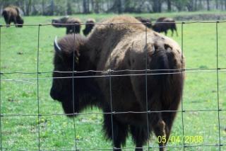Bisontes, comer Foto gratis