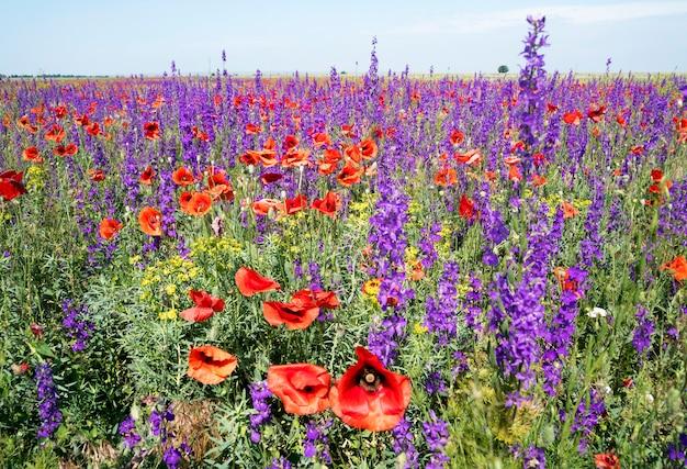 Blooming amapolas rojas y flores de color púrpura en el campo. Foto Premium