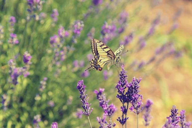 Blooming campo de lavanda. mariposa en las flores Foto Premium