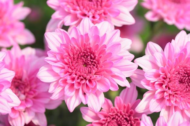 Blooming primer plano de flor de crisantemo rosa por amor Foto Premium