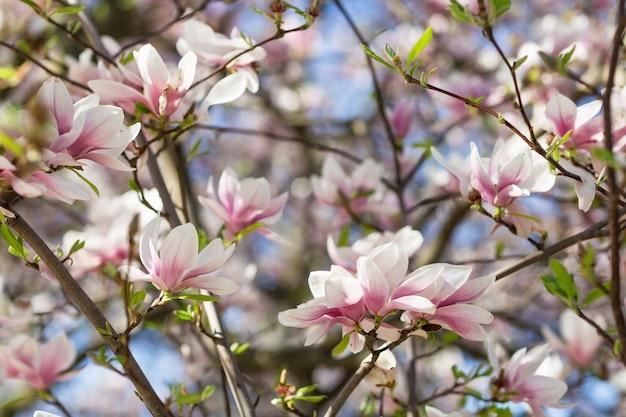 Blooming rama de un árbol de magnolia. Foto Premium