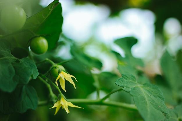 Blooming tomates verdes maduros frescos en una rama crecen en un invernadero Foto Premium