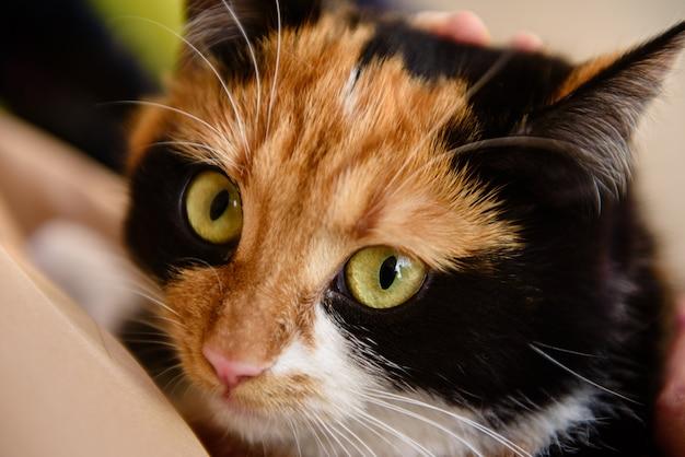 Bobtail japonés gato doméstico se ve en la lente de la cámara. gato tortuga    Foto Premium